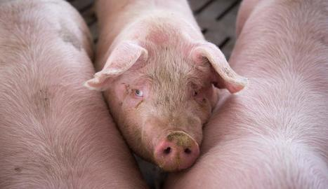 El consum de carn de porcí ha augmentat a les llars.