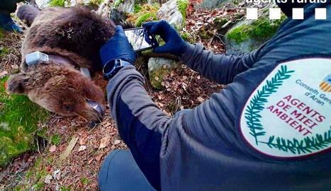 El cadàver de l'ós Cachou, trobat el mes d'abril passat.