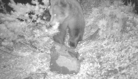 Imatge d'arxiu de Cachou alimentant-se de carronya.