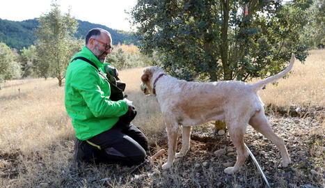 Un tècnic del CTFC busca tòfones amb un gos a Lladurs.