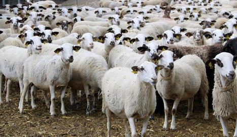 Imatge d'arxiu d'un ramat d'ovelles d'una explotació lleidatana.