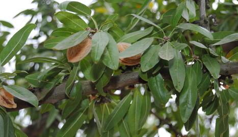Imatge d'arxiu d'ametlles en un arbre.