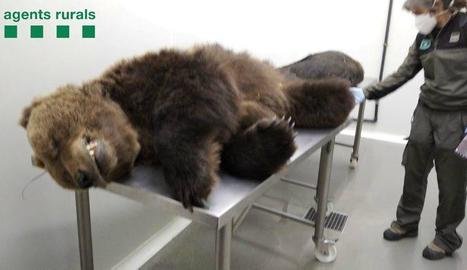 L'os Cachou va morir dos setmanes després de ser enverinat