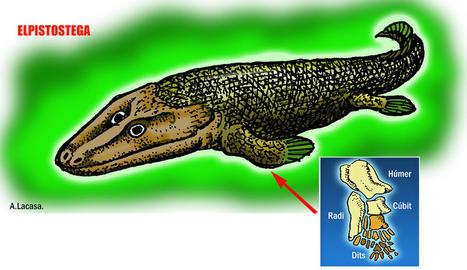 Elpistostega. Representació del peix 'Elpistostega' amb els ossos de les aletes  que dissenyen els de les potes caminadores. 380 milions d'anys.