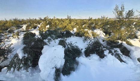 Oliveres arrasades pel pes de la neu sobre les branques.