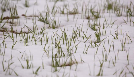 Imatge de vinyes captada dijous encara amb molta neu.