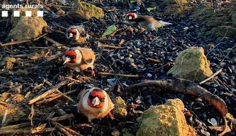 Els furtius utilitzaven xarxes abatibles i una de japonesa per capturar els ocells.