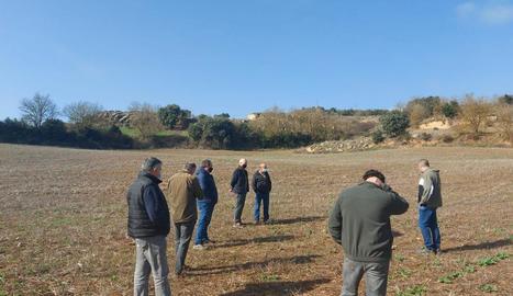 Un camp de colza arrasat pels cabirols al municipi de Biosca, a la Segarra.