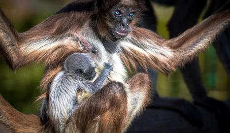 Naix al Zoo de Barcelona una mona aranya, una espècie en perill crític d'extinció