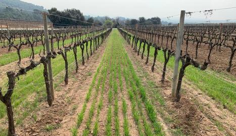 La UdL prova al Penedès diferents cobertes vegetals per conservar el sòl en vinyes ecològiques de la Família Torres