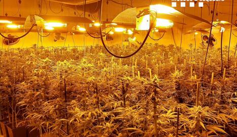 Plantació de marihuana en una nau industrial d'Òdena.