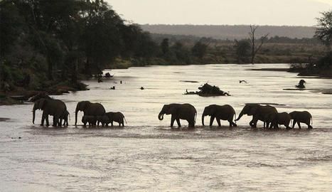 A la reserva de Selous (Tanzània) els elefants han passat de 70.000 a 13.000 en deu anys.