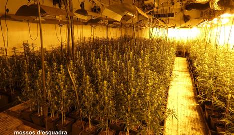 Una imatge de la plantació de marihuana descoberta en un magatzem de Rosselló.