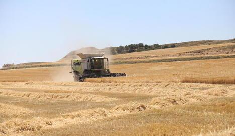 Recol·lectora de cereal en un camp d'Alfés, fa uns dies.