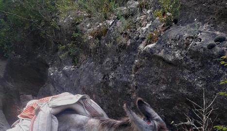 El burro va caure dijous per un desnivell al congost de Mont-rebei i no podia sortir.