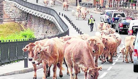 Moment en què les vaques van creuar l'N-260 per Gerri de la Sal.