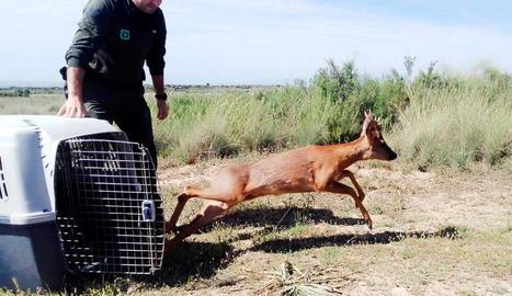 Un agent rural alliberant el cabirol a l'espai natural de Mas de Melons.