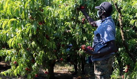 Collita de nectarines a Alcarràs