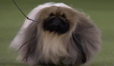 Així és Wasabi, el gos més maco del món.