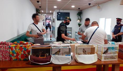 Intervenen 78 ocells en un bar d'Ivars d'Urgell
