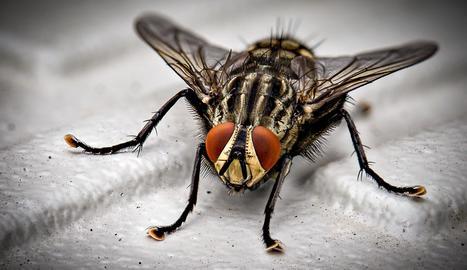 Les mosques transporten gèrmens, virus i bacteris a les seues potes.