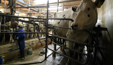 Una explotació de vaques de llet mentre es fa el munyiment.