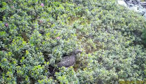 La femella de gall fer captada al juny vora el seu niu.