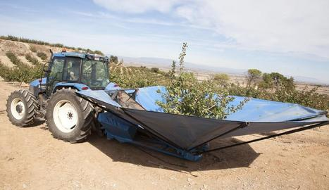 Recol·lecció de pistatxos en una finca de l'empresa a la zona regable del canal Segarra-Garrigues.