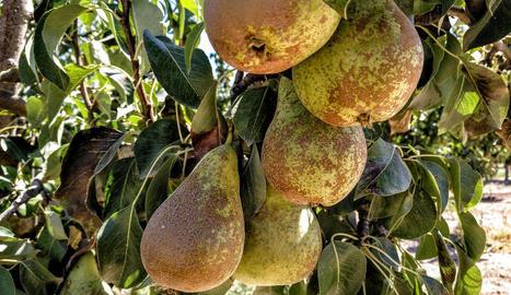 Afrucat preveu una bona campanya de comercialització de fruita de llavor