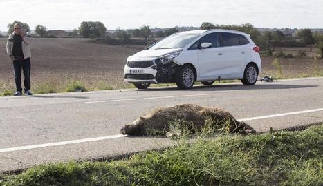 Imatge d'arxiu d'un accident amb un senglar a la Segarra.