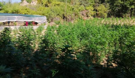 Decomissen 18.000 plantes de marihuana al Solsonès
