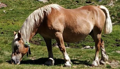 Imatge d'un cavall amb un collar GPS.