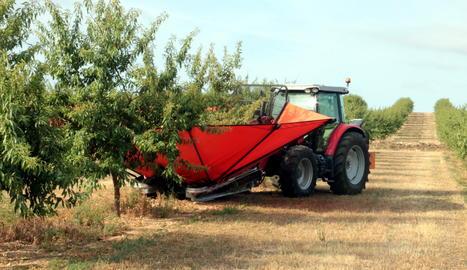 Un tractor amb un ventall vibrador collint ametlles de la varietat Vayro en una finca d'Aspa.