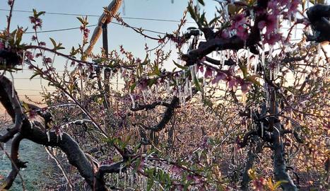 Imatge d'aquesta primavera de fruiters coberts de gel gràcies al reg per aspersió.