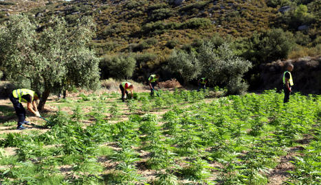 Els Mossos van tallar les plantes i les van destruir in situ, tret d'una mostra per a la investigació.