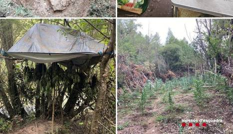 Els dos detinguts vivien al lloc amb tendes i vigilaven i cultivaven les plantes