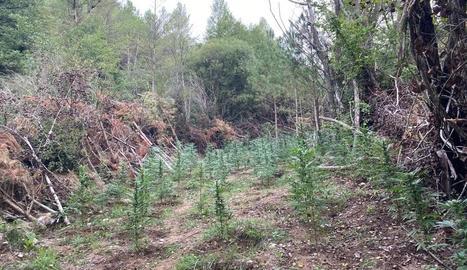 Un dels camps de cultiu que els Mossos d'Esquadra van localitzar vora el curs del riu Cardener.