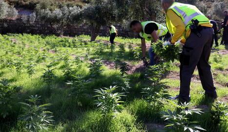 """Els Mossos alerten d'un augment """"exponencial"""" de plantacions de marihuana a Lleida controlades per grups criminals"""
