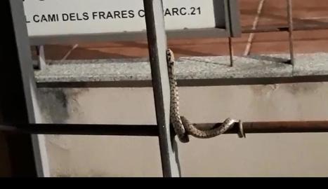 Imatge de la serp vora el camp de futbol del Magraners.