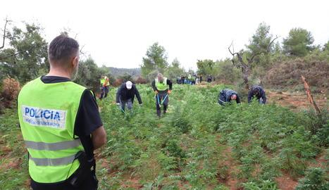 Els Mossos, desmantellant la plantació de L'Albagés aquest dimecres.