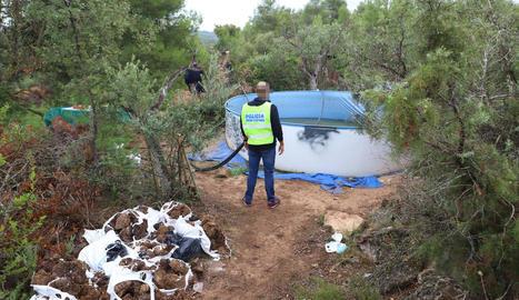 Agents al tallar algunes de les plantes que van trobar ahir entre els camps d'oliveres.