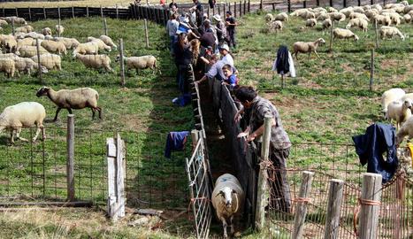 El gran ramat d'una dotzena de ramaders del Sobirà.