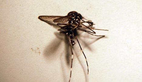 El mosquit tigre té una línia característica al cap i al tòrax.