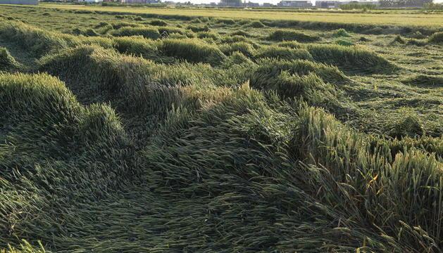 Imagen de la situación en la que ha quedado un campo de cereales en Linyola tras las lluvias.