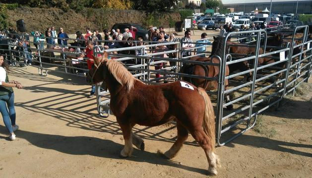 Exemplar de cavall català.