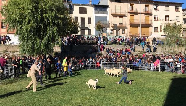 Demostración de pastoreo durante el concurso de 'ovella xisqueta' de Sort en el Parc del Riuet.