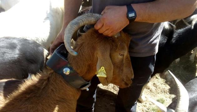 Un collar equipat amb GPS que permet al pastor conèixer la ubicació de l'animal a través del mòbil.