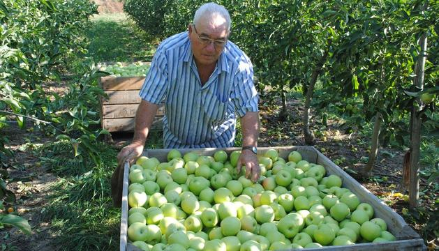 Agricultor recolectando manzanas en Bellvís.