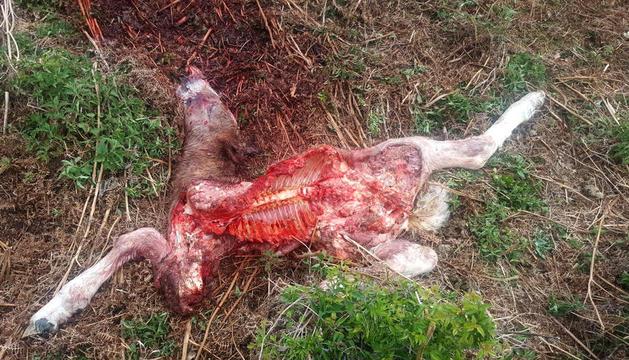 Imatge del resultat d'un atac de l'ós a un poltre a Vilamòs.