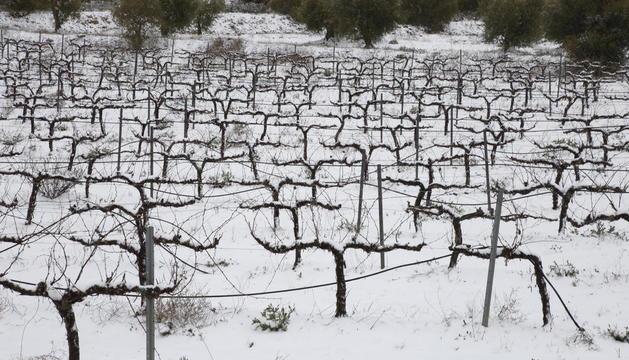 Una vinya nevada a la sortida de l'Albi.